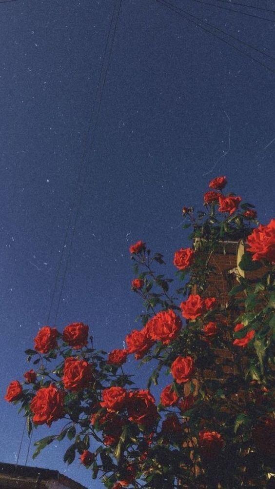 Τριαντάφυλλα και νύχτα