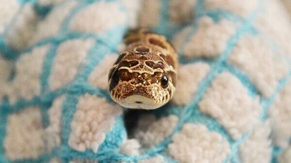 Φίδι αμπέλου